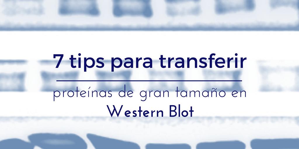 Transferir proteínas de gran tamaño en western blot