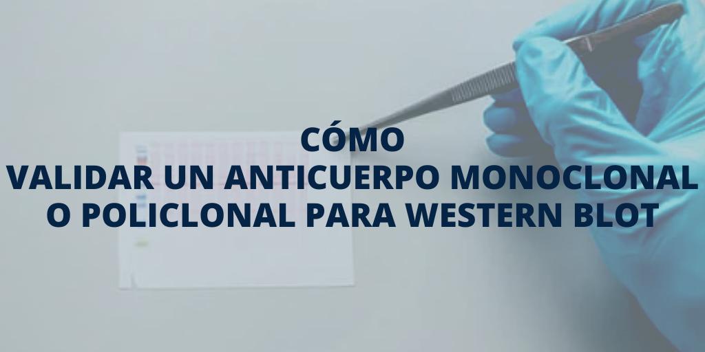 Cómo validar un anticuerpo monoclonal o policlonal para la transferencia en western blot